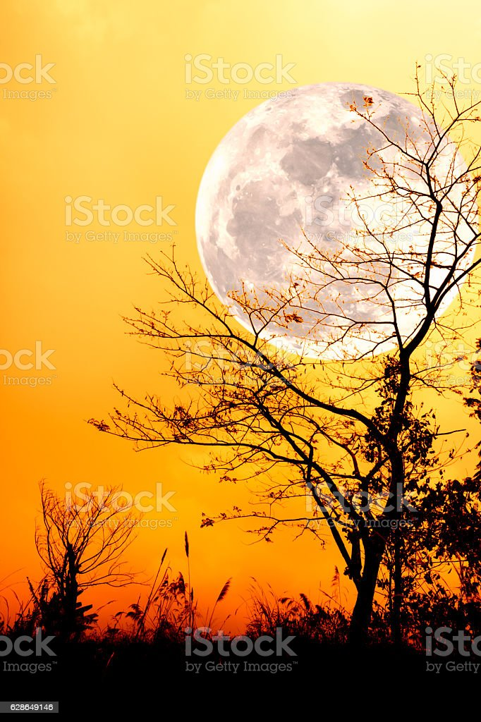 Silhouettes of dry tree against gold sky and full moon. stock photo