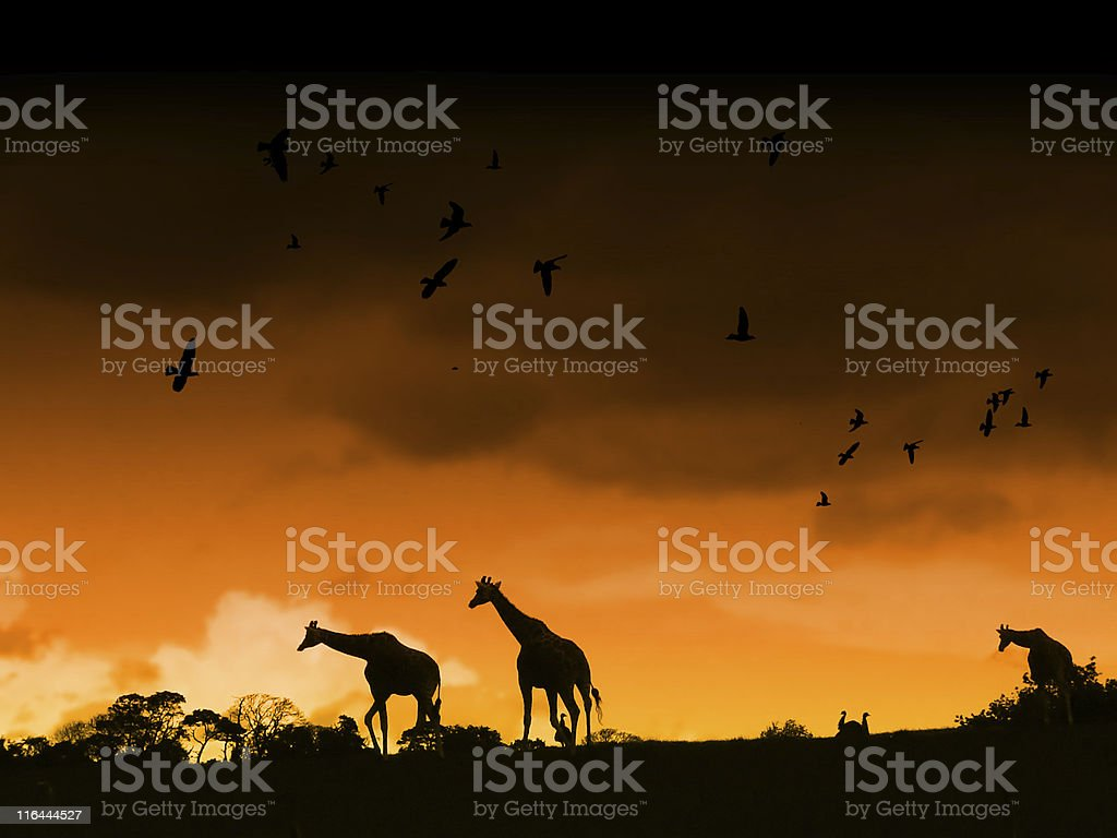 Silhouettes of giraffes against a sunset backdrop in Africa stock photo