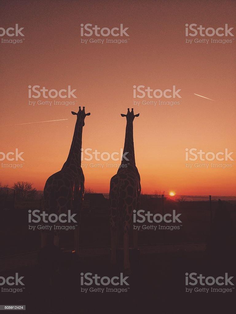 Silhouettes of giraffes stock photo