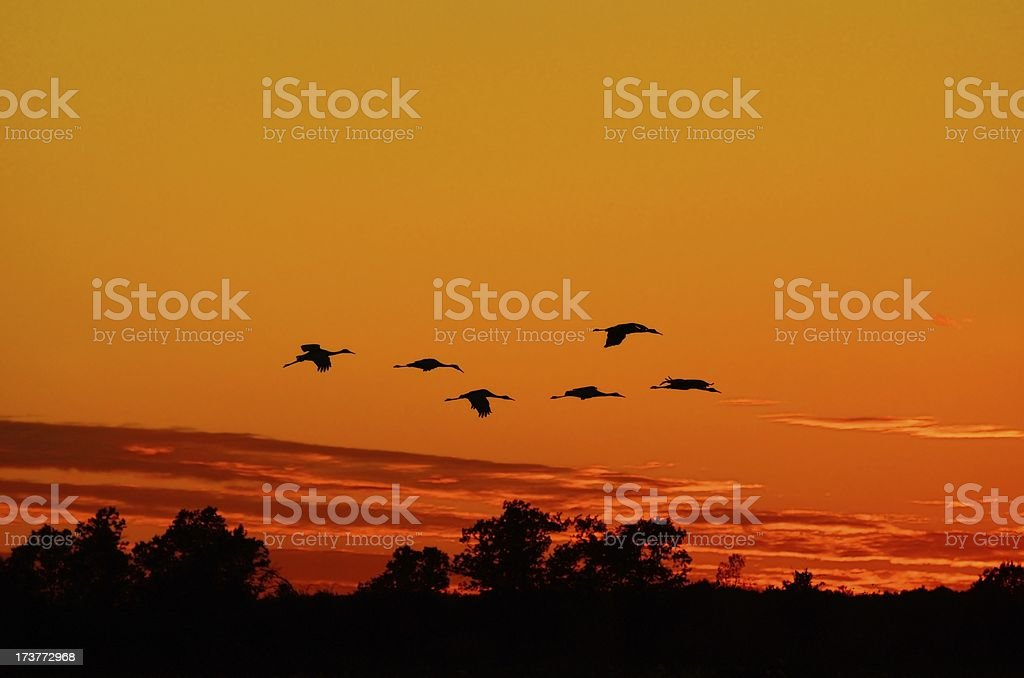 Silhouettes of Sandhill Cranes Flying at Sunset royalty-free stock photo