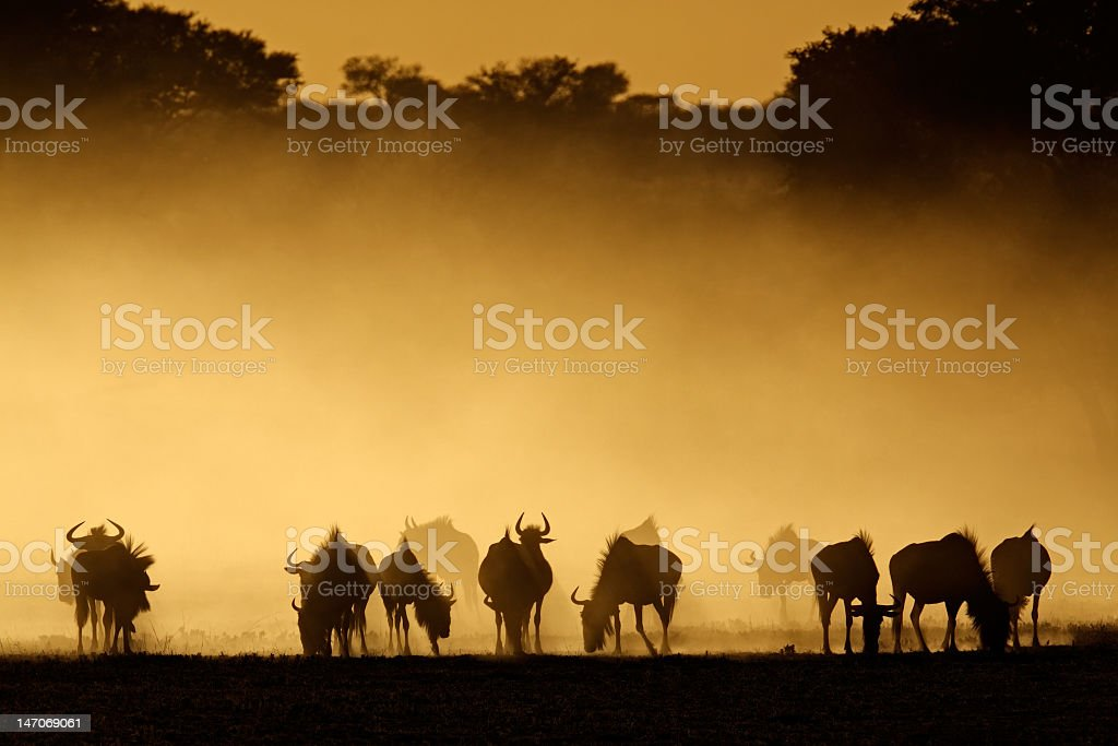 Silhouettes of wildebeest in dust cloud royalty-free stock photo