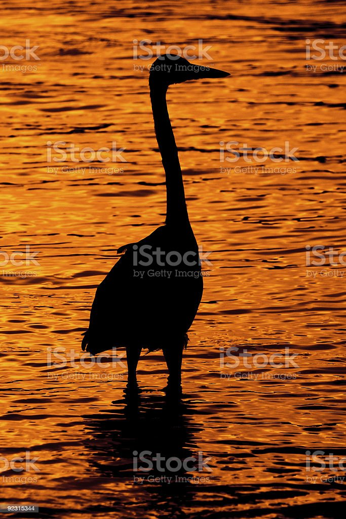 Silhoutte of Great Blue Heron royalty-free stock photo