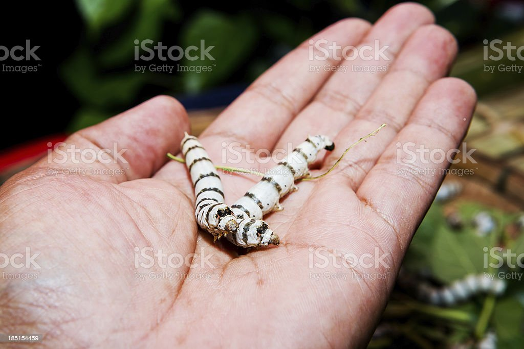 silk caterpillar in a hands royalty-free stock photo
