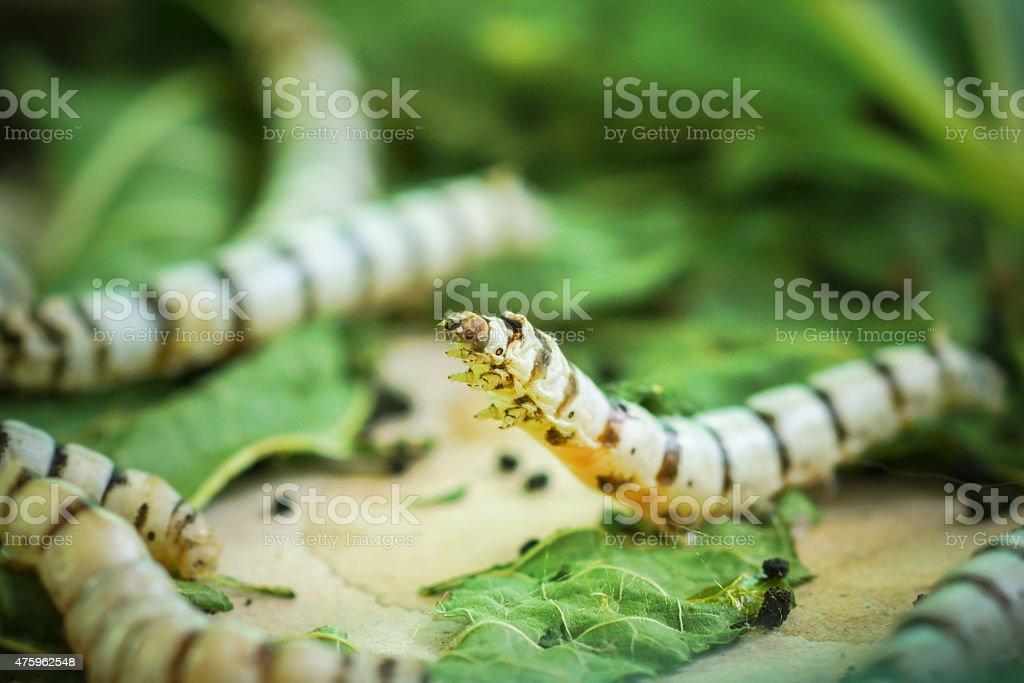 Silk Cocoons with Silk Worm on Green Mulberry Leaf stock photo