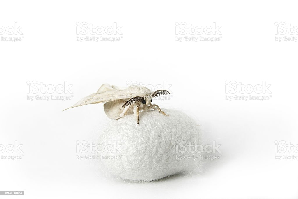 Silk Moth on white Cocoon royalty-free stock photo