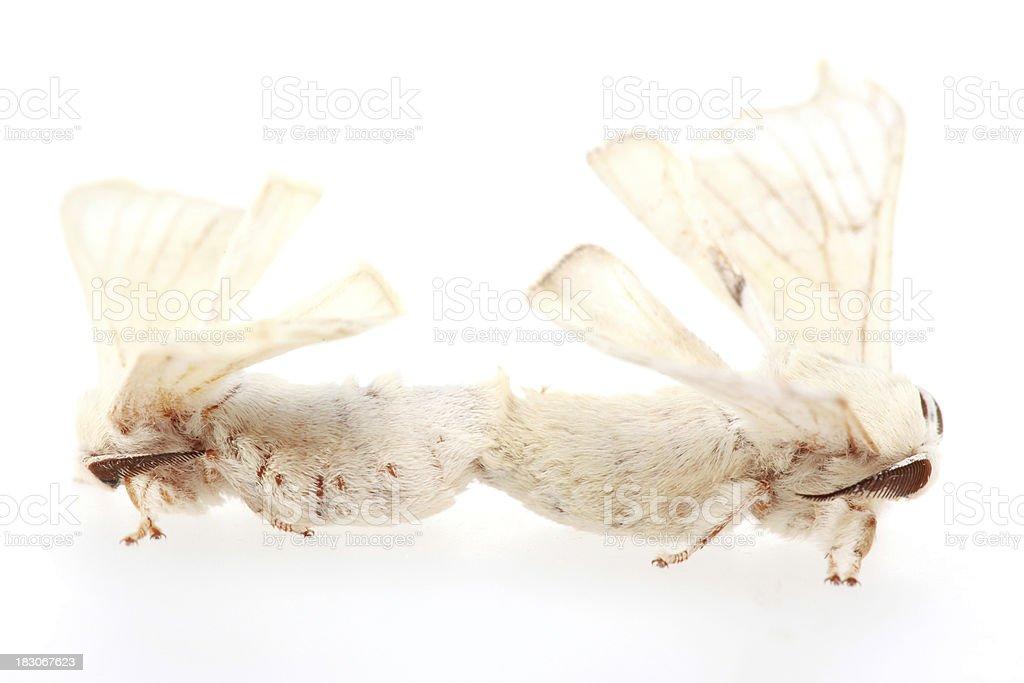 Silk Moths Copulating (XXL) royalty-free stock photo