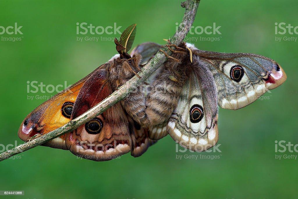 Silk moths in love (Saturnia pavoniella) stock photo