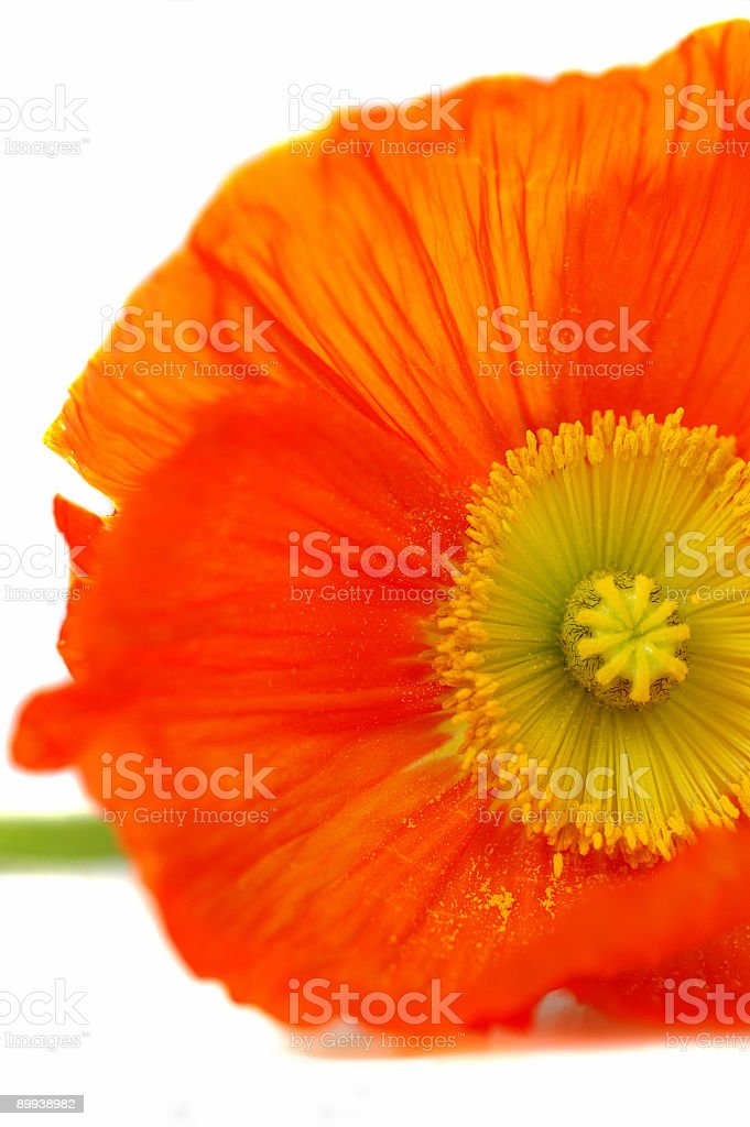 Silk Poppy Close up royalty-free stock photo
