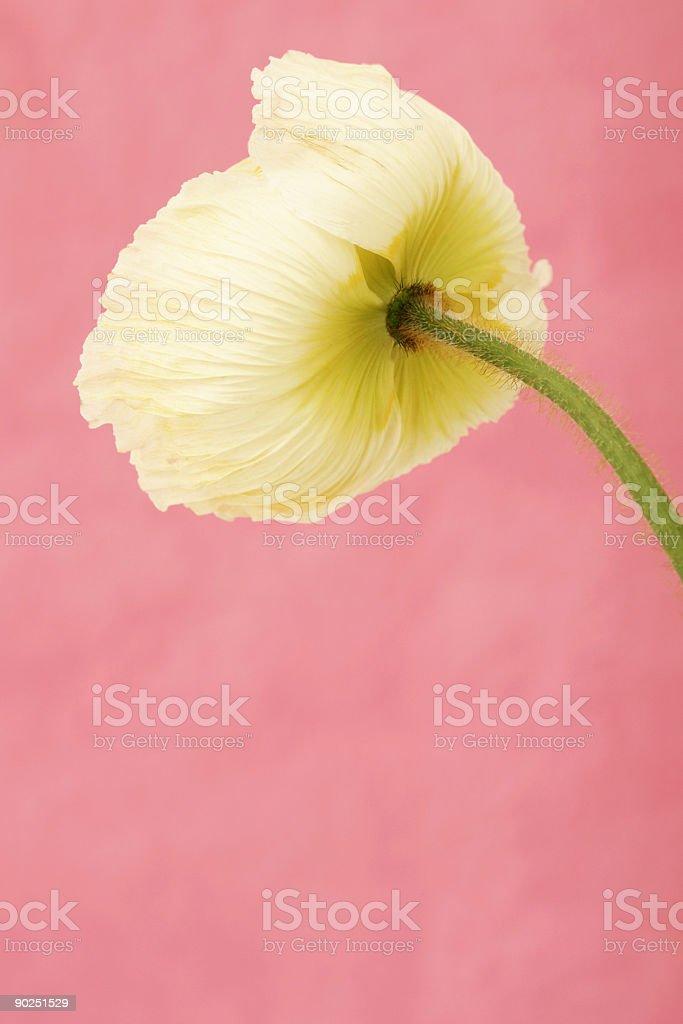 Silk Poppy royalty-free stock photo