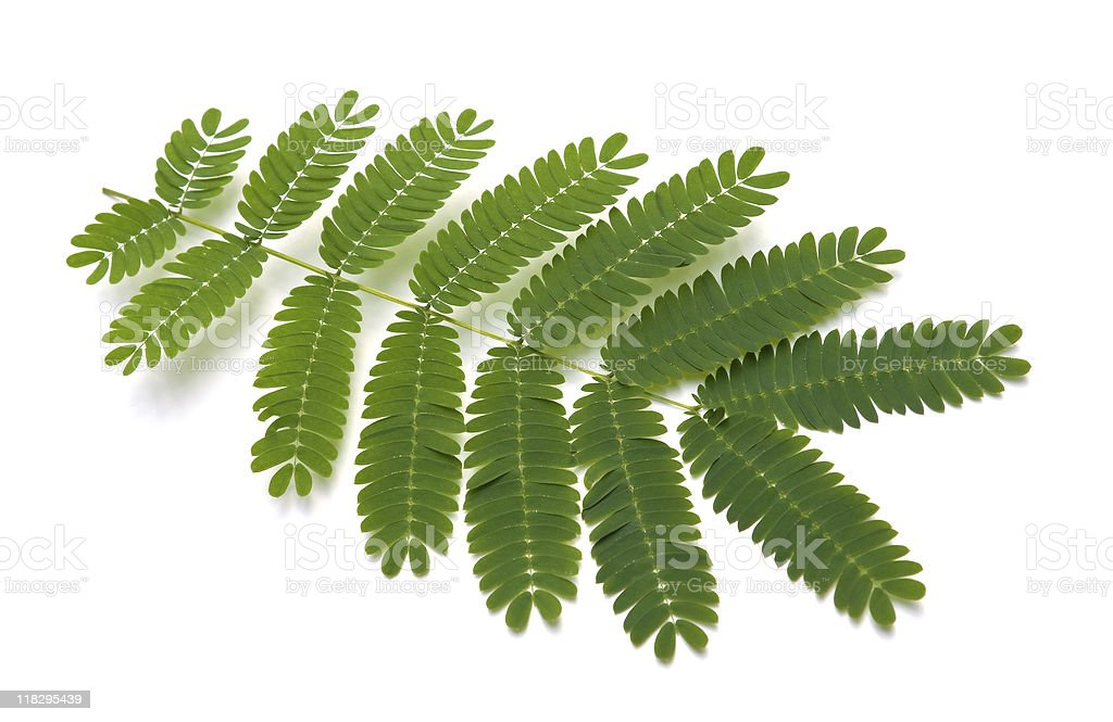 Silk Tree Leaves stock photo