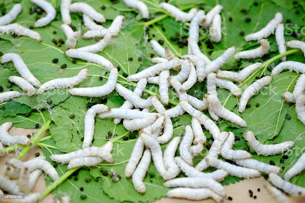 silk worm eating mulberry leaf stock photo