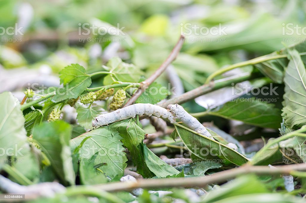 Silk Worm on Green Mulberry Leaf stock photo