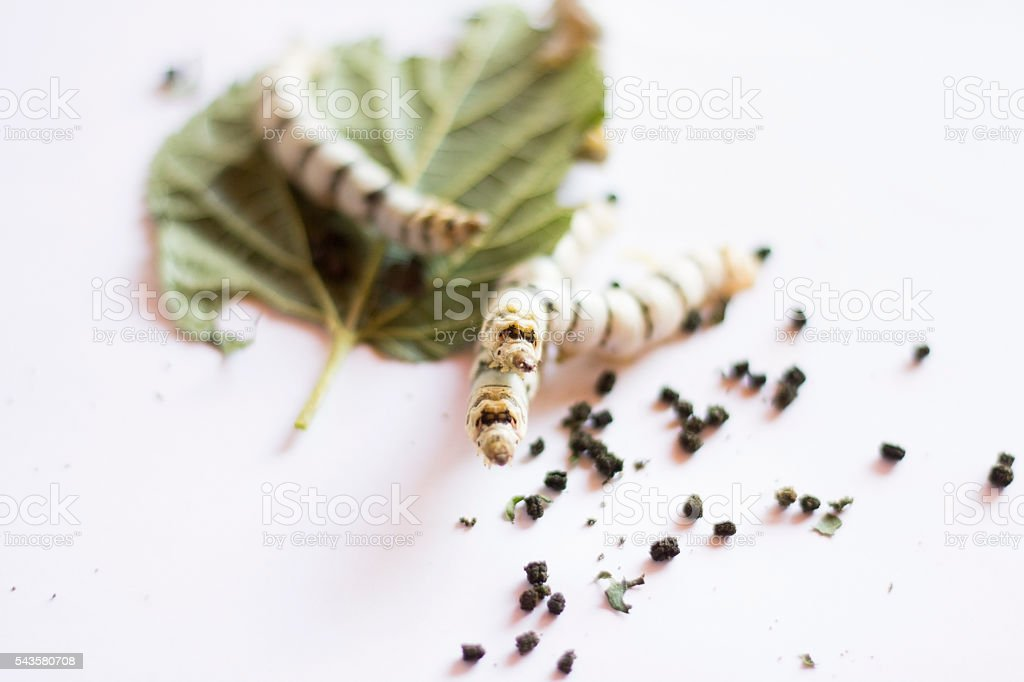 Silk Worm on Green Mulberry Leaf.Isolated on White. stock photo