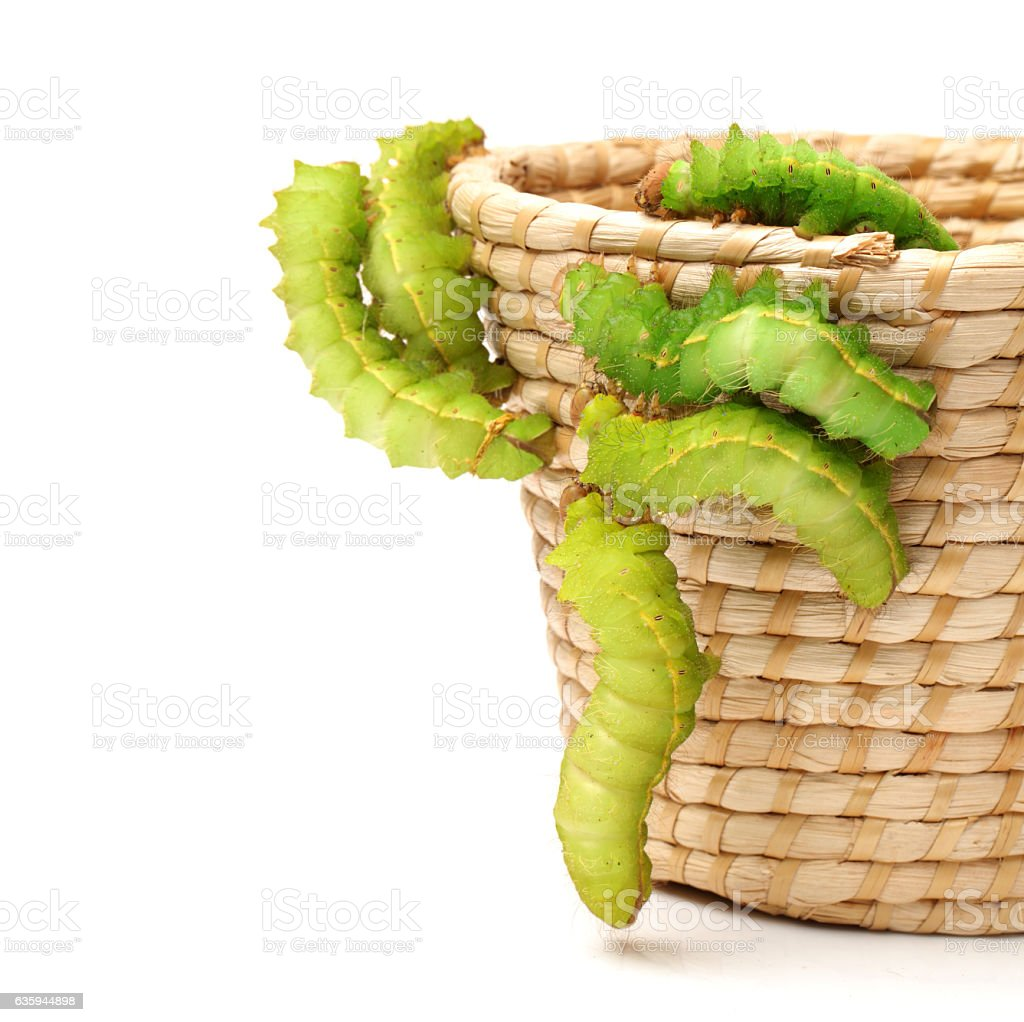 silk worm stock photo