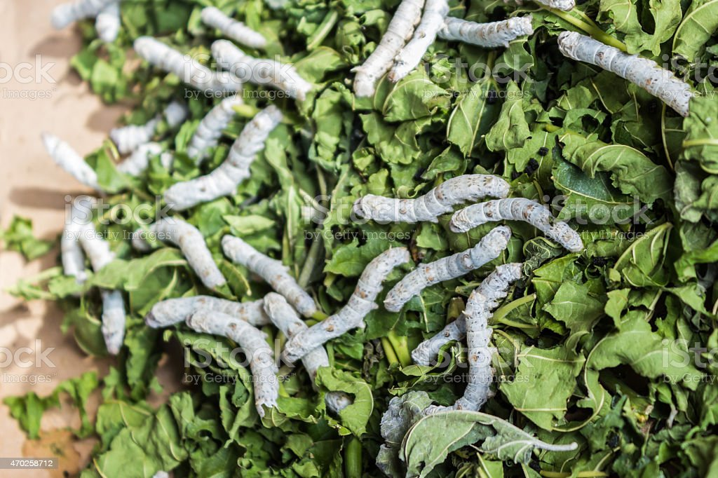 Silkworm eating mulberry green leaf. stock photo