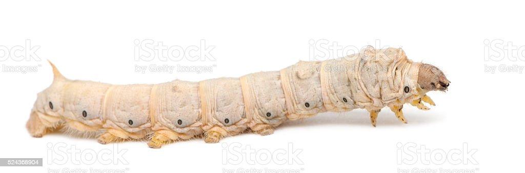 Silkworm larvae, Bombyx mori, against white background stock photo