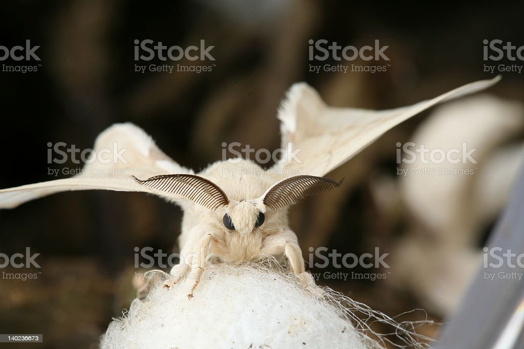 Silkworm Moth Newly Emerged From Cocoon stock photo