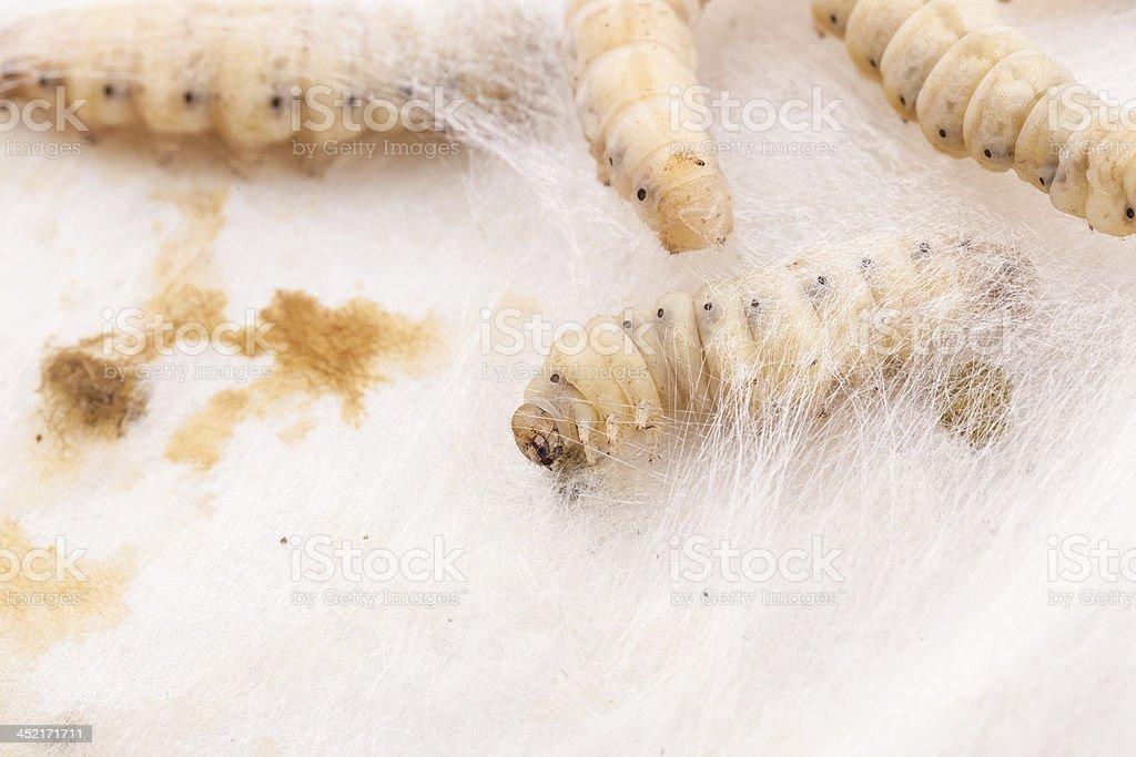 silkworm netting royalty-free stock photo