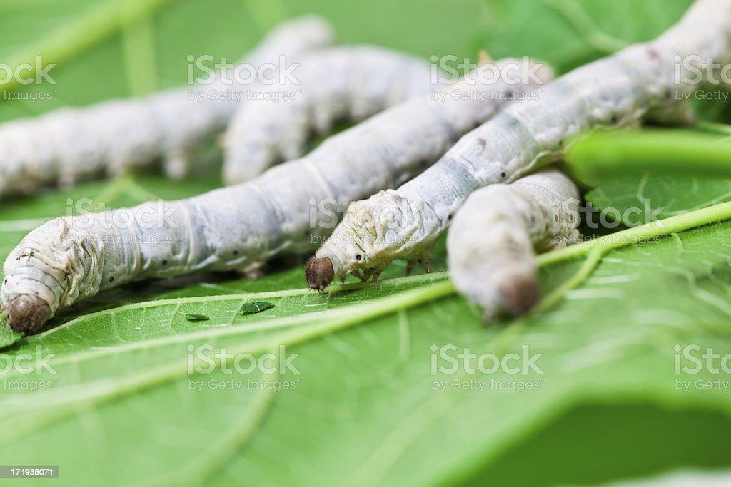 Silkworm royalty-free stock photo