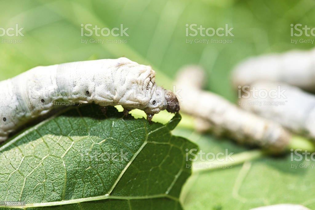 Silkworm stock photo