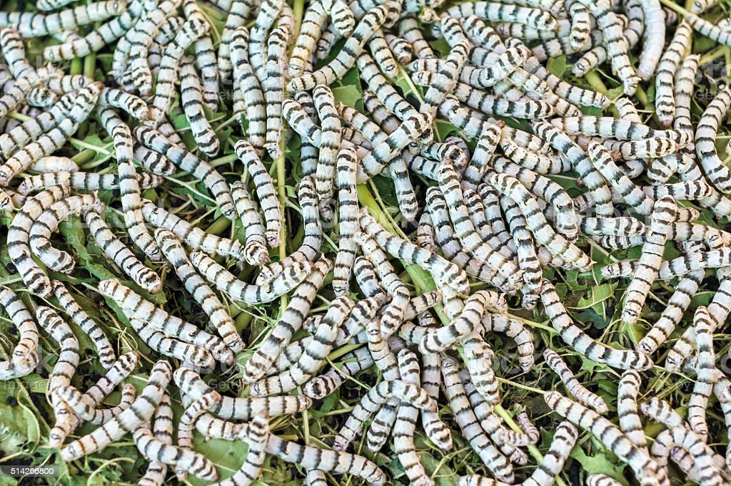 Silkworms eating mulberry leaf closeup nature silk worms stock photo