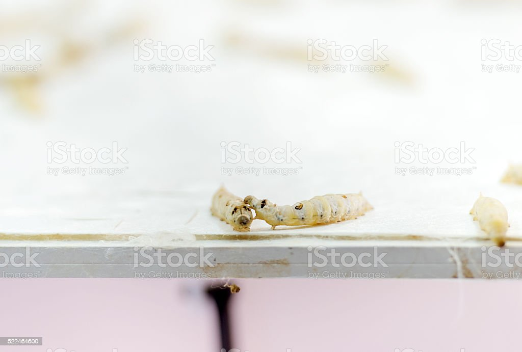 silkworms on the white table stock photo