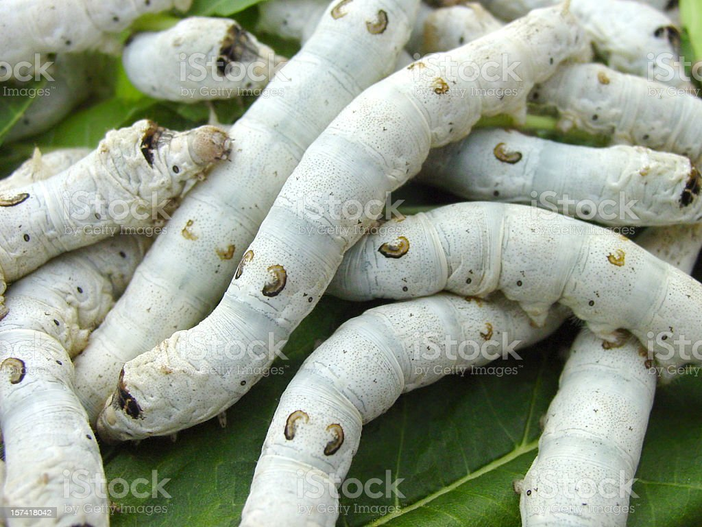 silkworms stock photo