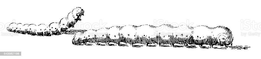 Silkworms (antique engraving) stock photo
