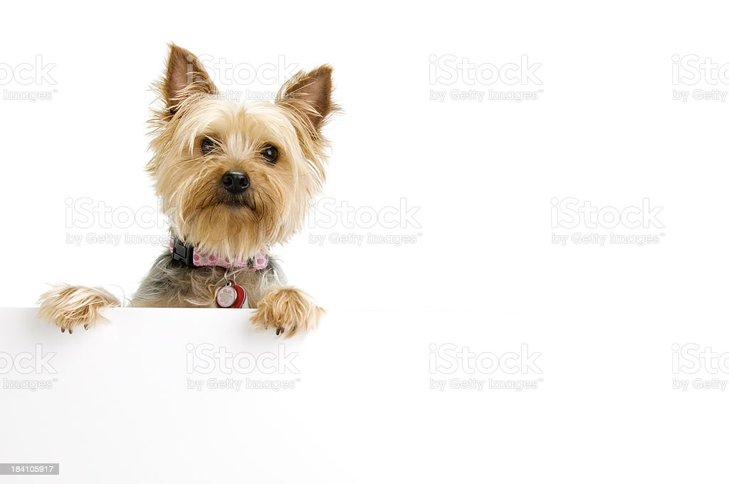 Silky Terrier royalty-free stock photo