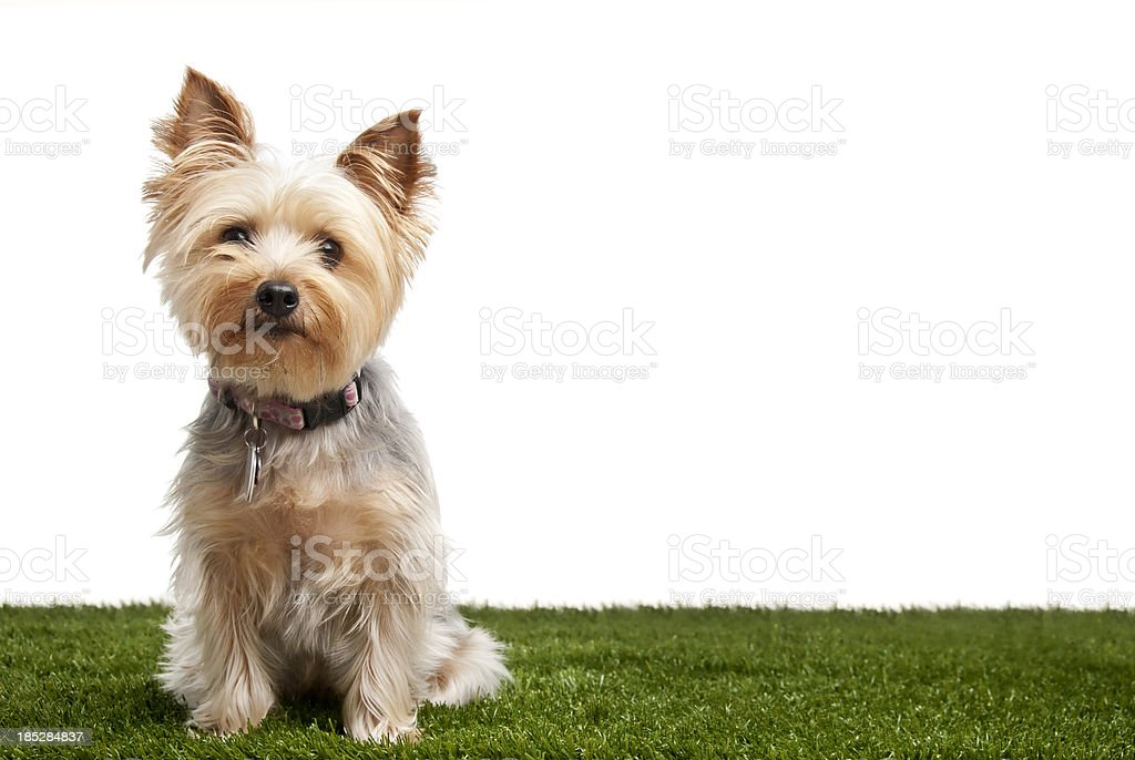 Silky Terrier stock photo
