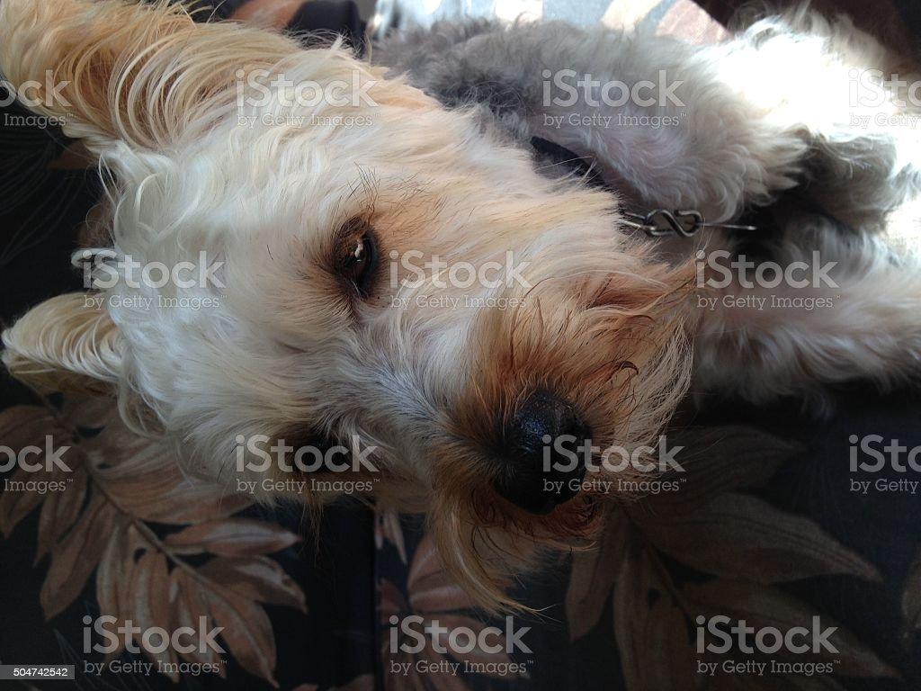 Silky Terrier Sitting Outside stock photo