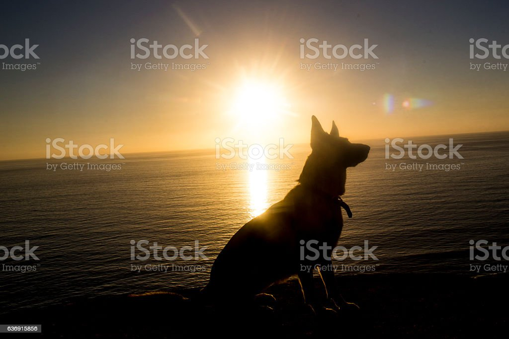 Sillouette of German Shephard at the Beach stock photo