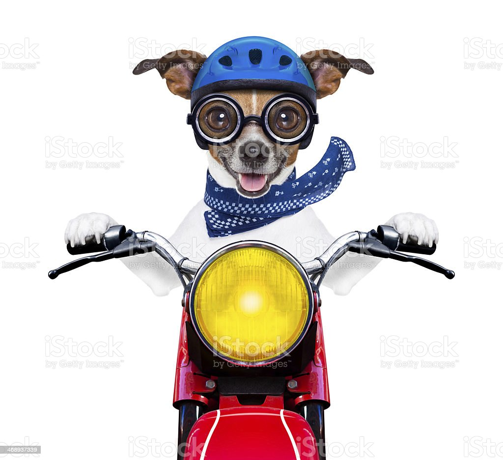 Silly cartoon dog in motorcycle outfit on a motorcycle stock photo