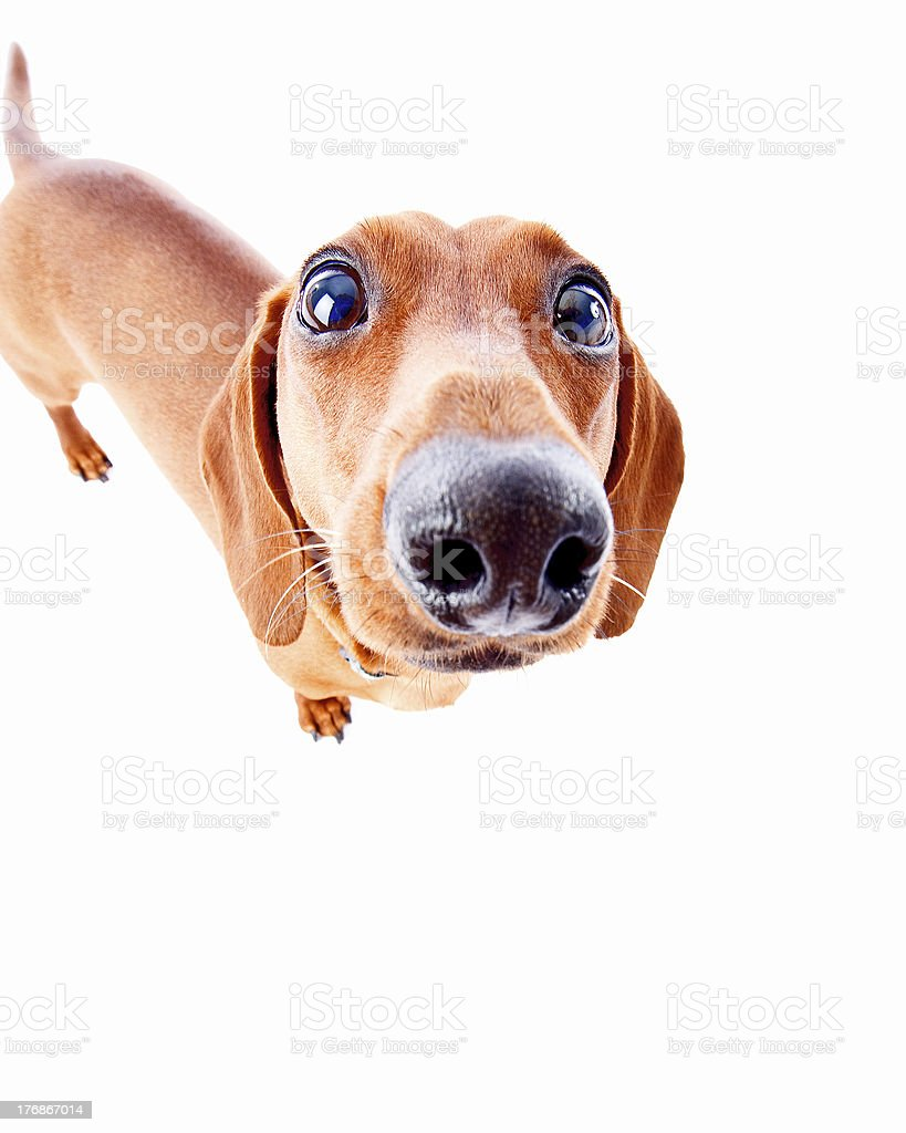 Silly Dachshund stock photo
