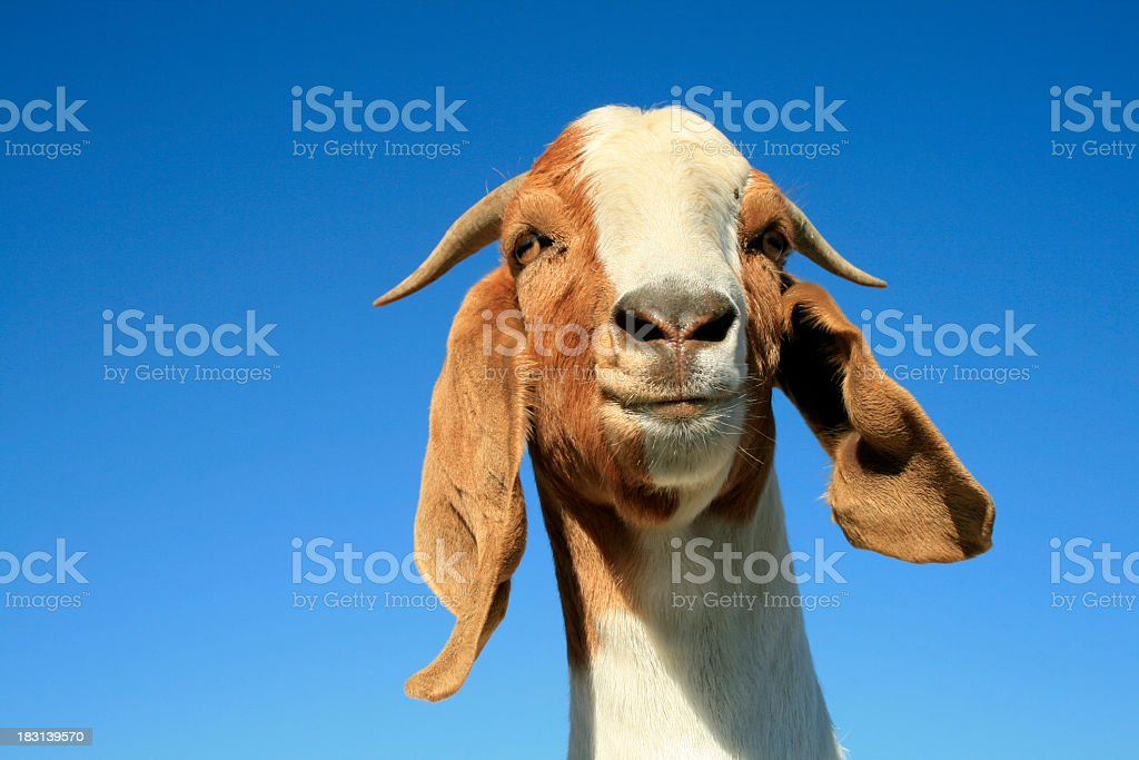 Silly Goat with a Big Smile on Blue Sky Background stock photo