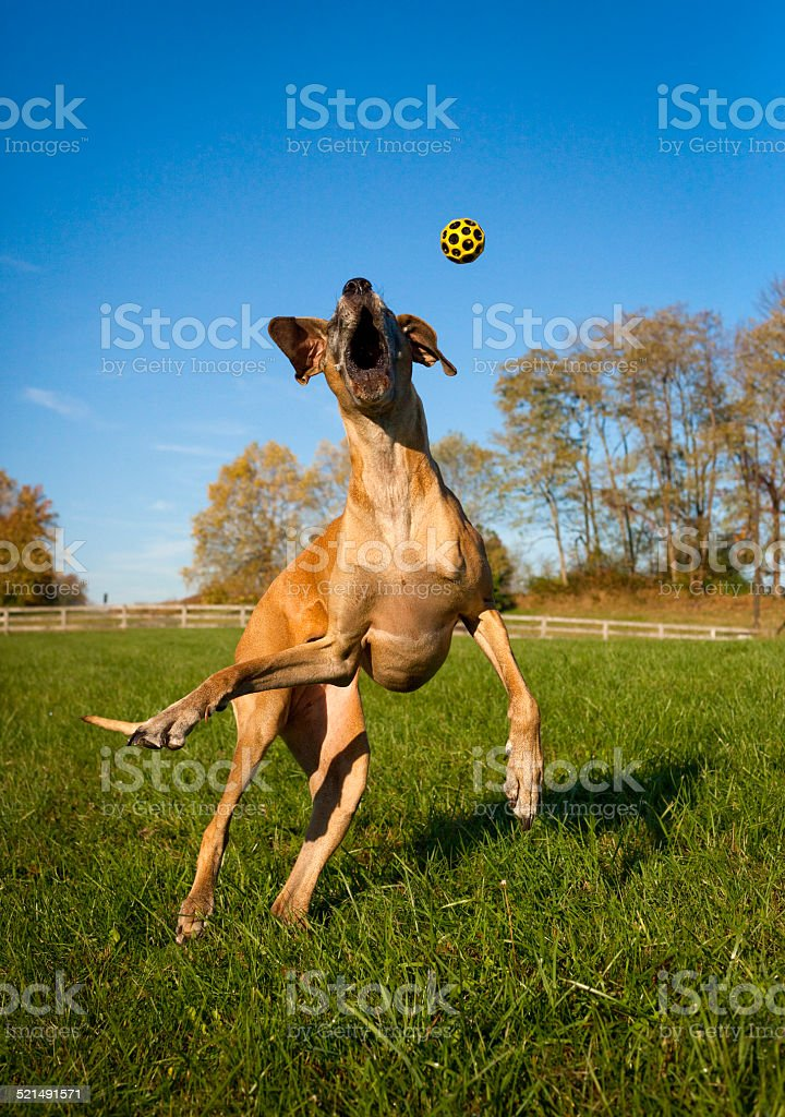 Silly Great Dane leaping for ball stock photo