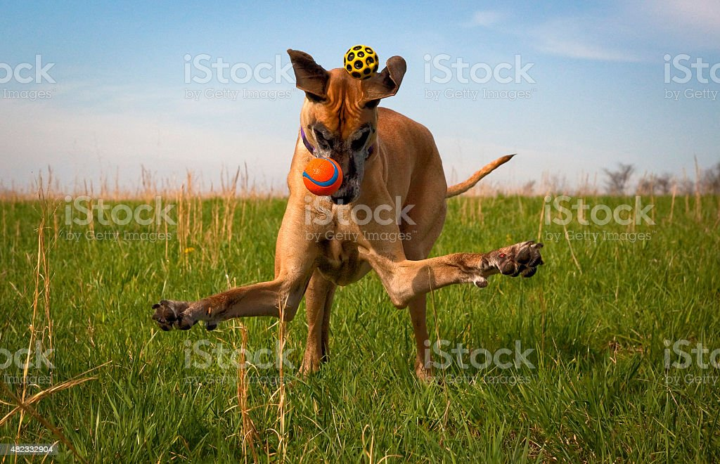 Silly great Dane trying to catch two balls stock photo