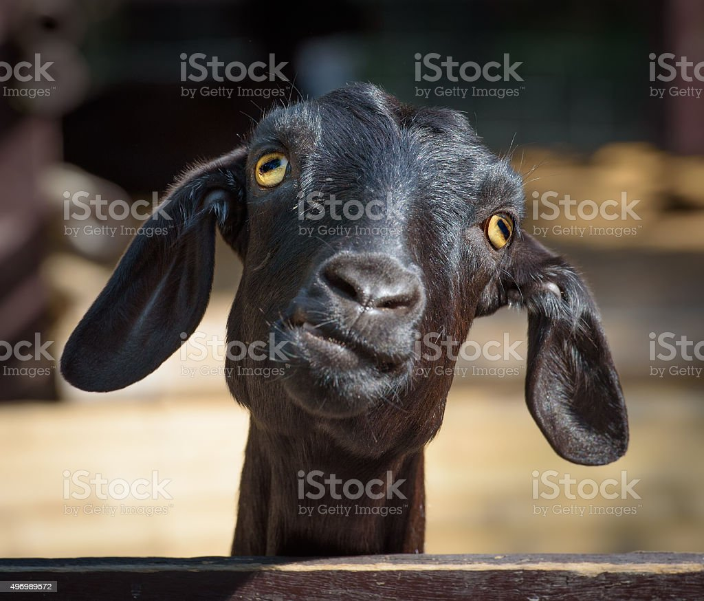 Silly looking black goat, closeup portrait stock photo