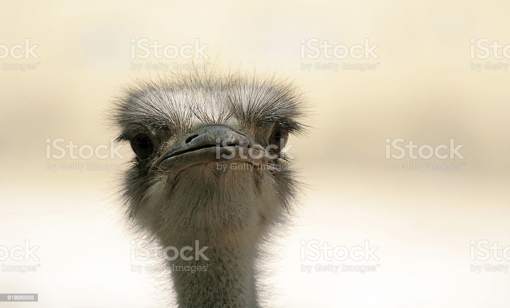 Silly looking Ostrich royalty-free stock photo