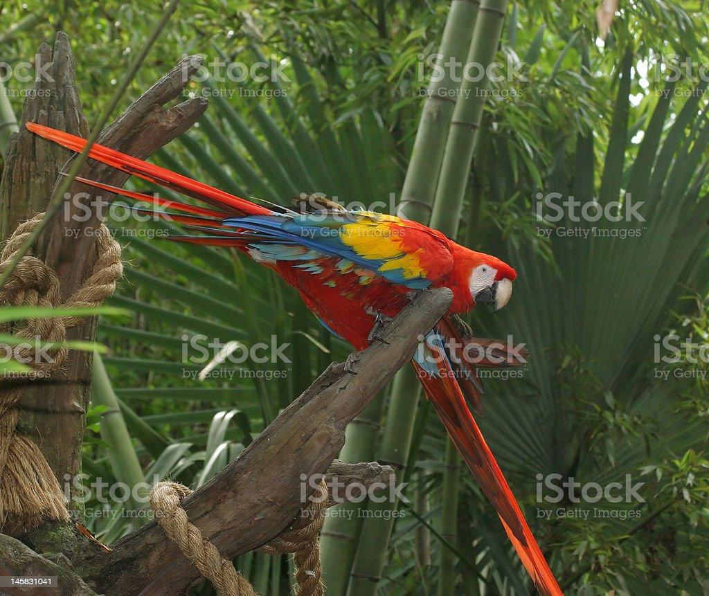 Estúpida Macaws foto de stock libre de derechos
