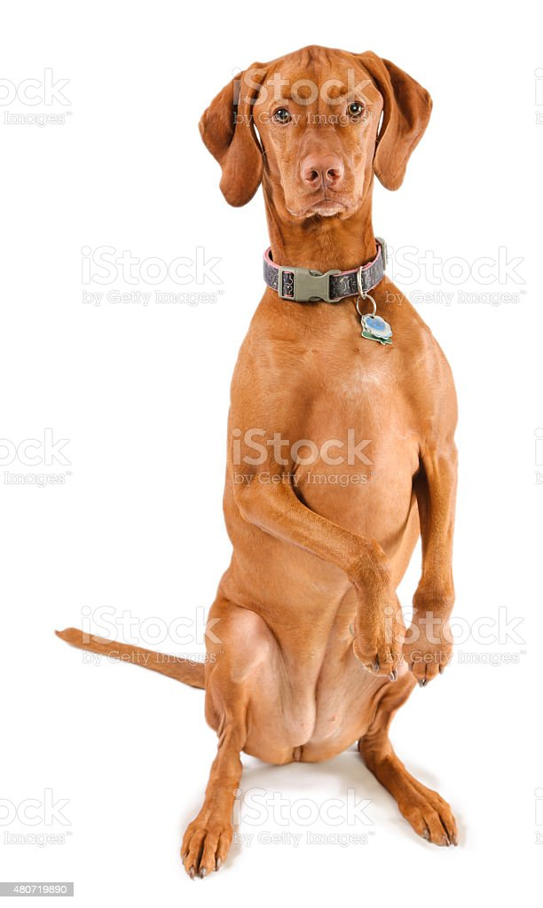 Silly Vizsla stock photo