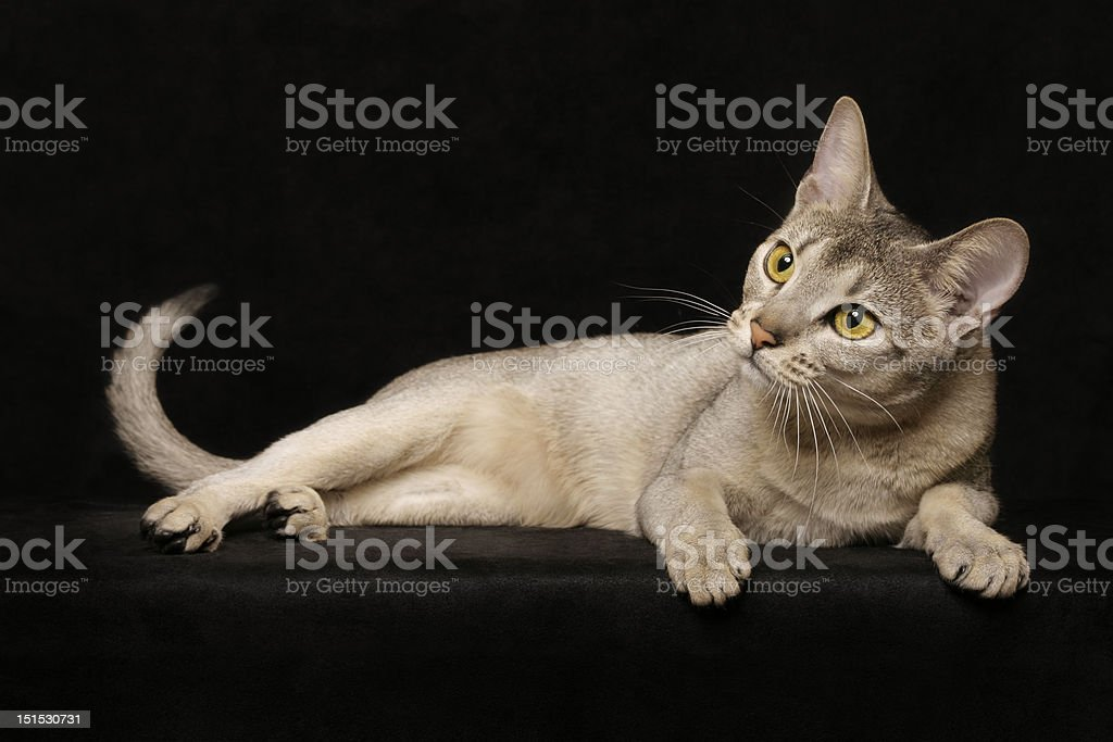 Silver Abyssinian cat royalty-free stock photo
