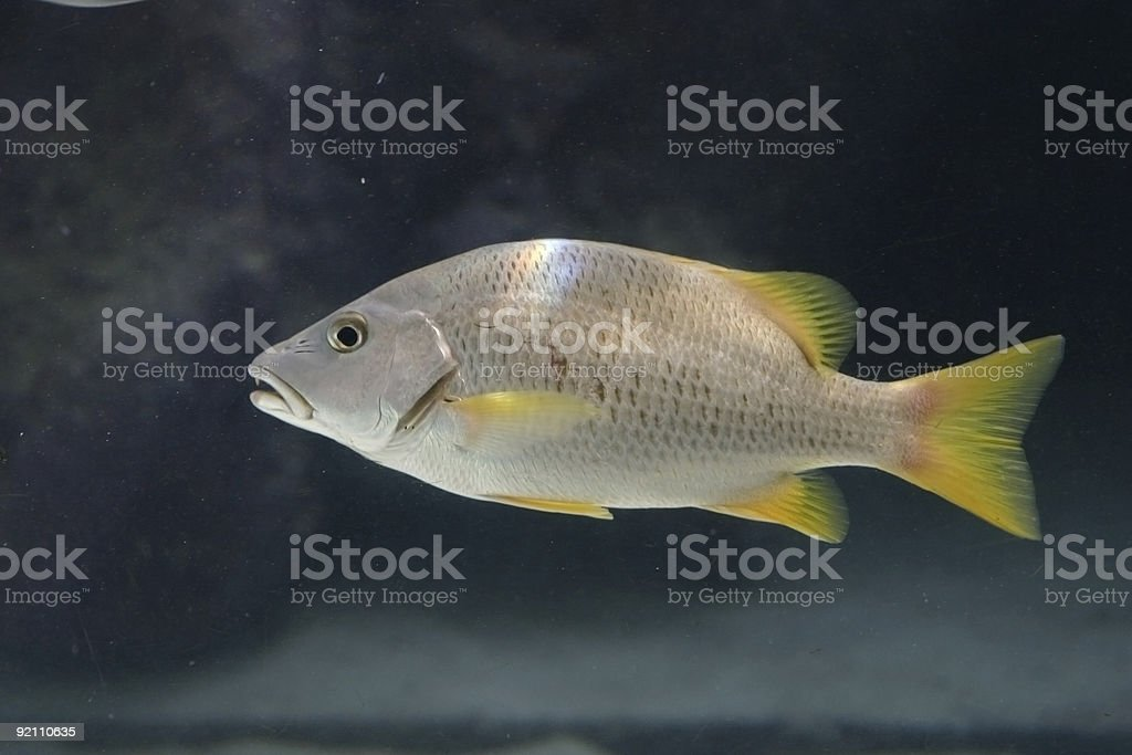 Silver and Yellow Fish royalty-free stock photo