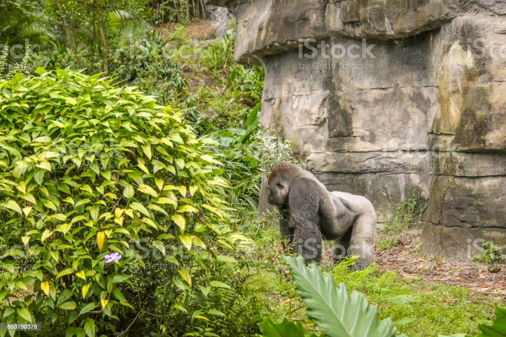 Silver Back Gorilla Standing Up stock photo