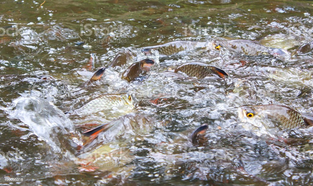 Silver barb fish bustle eat feed in farm stock photo