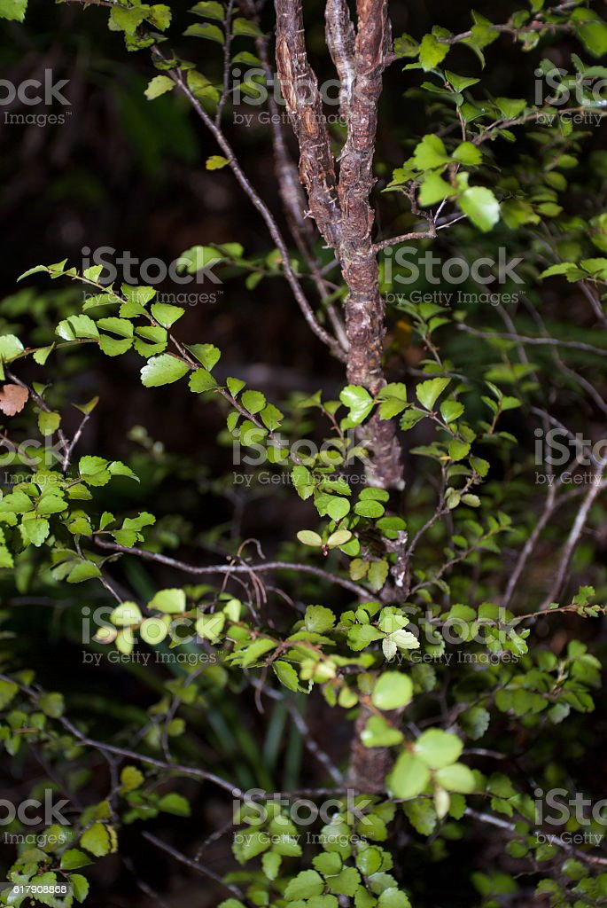 Silver Beech (Nothofagus menziesii) Sapling stock photo