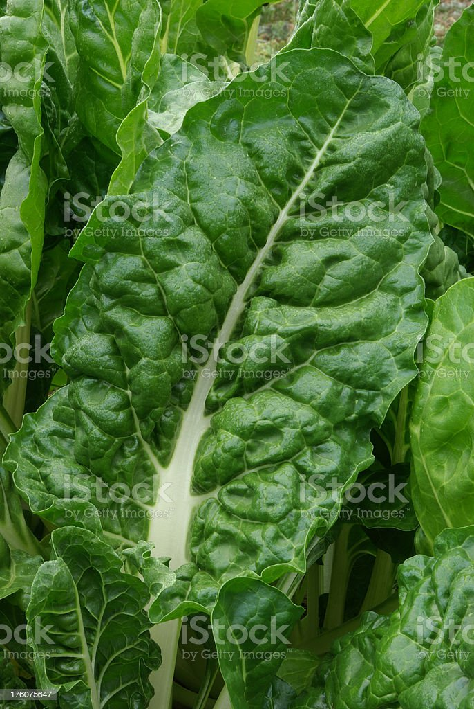 Silver beet in the vegetable garden stock photo