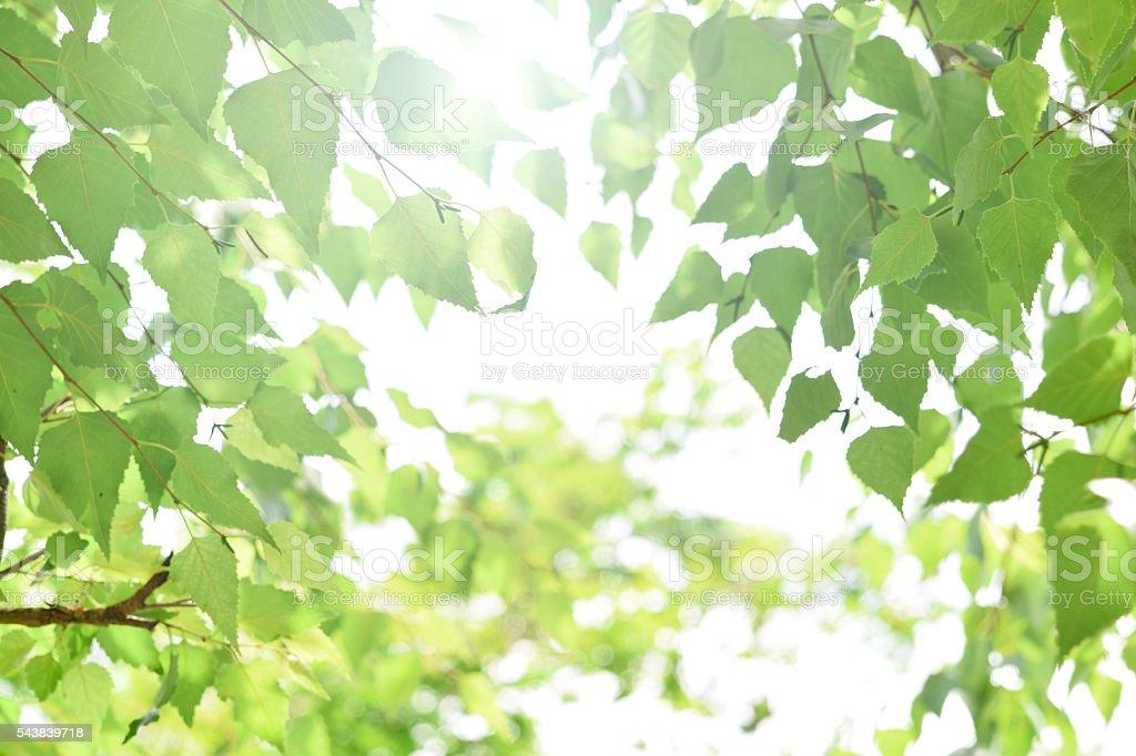 silver birch in early summer sunlight stock photo