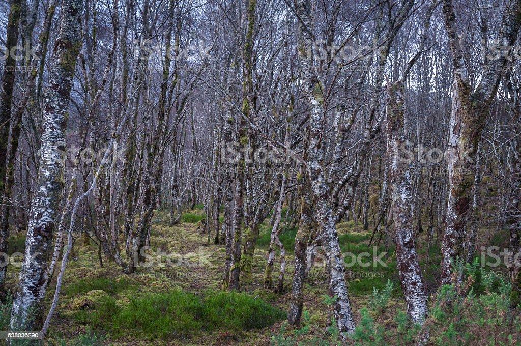 Silver Birch Trees covered in lichen stock photo