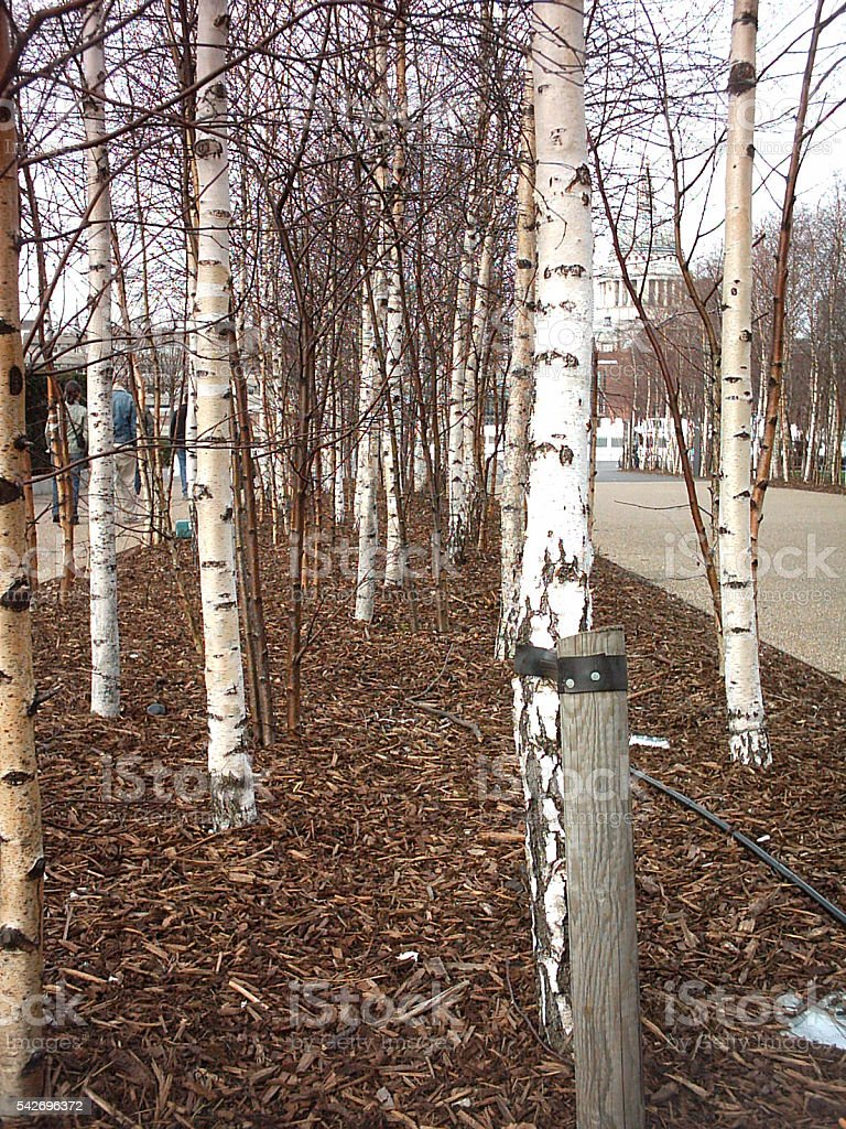 Silver birch trees in winter stock photo